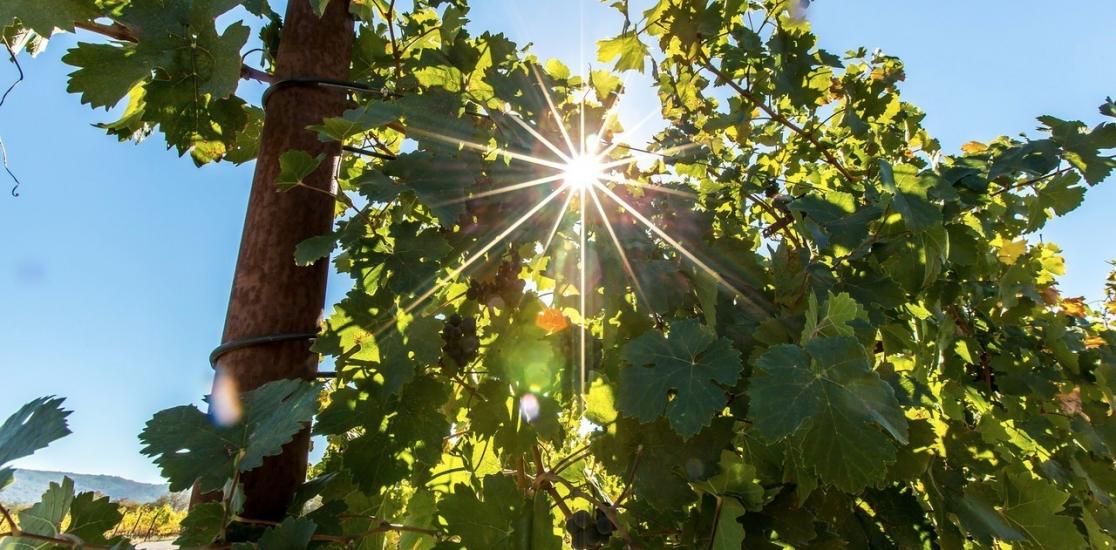 Our-Estate-Vines-Sunlight-10-31-13-Rose-PRess-94